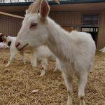 Goat Last Dance Rescue Ranch
