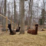 Llama Last Dance Rescue Ranch