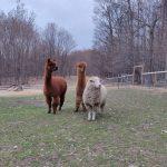 Llama Sheep Last Dance Rescue Ranch