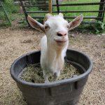 Goats Last Dance Rescue Ranch