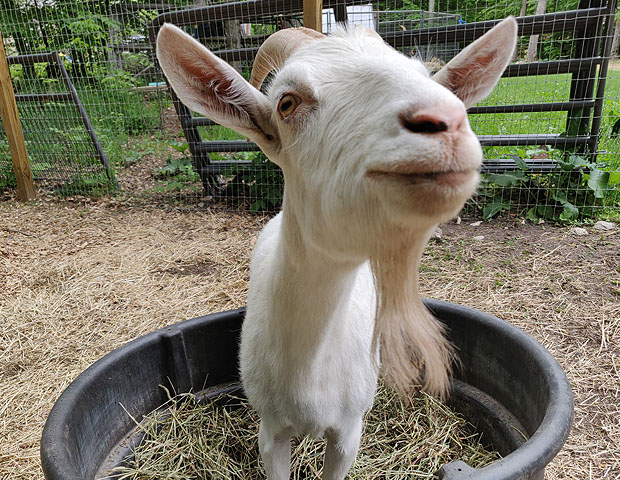 About Animal Sanctuary Goat Food